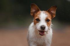 Jack Russell Terrier alegre Fotografia de Stock Royalty Free
