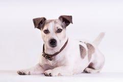 Jack Russell Terrier allo studio su bianco fotografia stock
