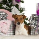 Jack Russell Terrier, 2 années images libres de droits