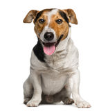 Jack Russell Terrier (3 années) photo libre de droits