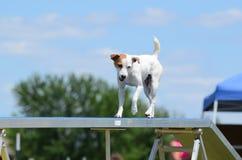 Jack Russell Terrier au procès d'agilité de chien images stock