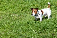 Jack Russell Terrier auf einem grünen Rasen stockbild