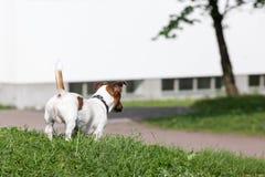 Jack Russell Terrier auf einem grünen Rasen lizenzfreie stockbilder