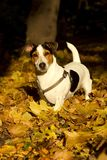 Jack Russell Terrier in the autumn park Royalty Free Stock Image
