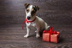 Jack Russell Terrier avec le boîte-cadeau de fête images libres de droits