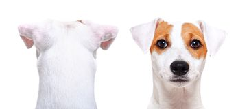 Jack Russell Terrier, back view and front view. Jack Russell Terrier, closeup, back view and front view, isolated on white background royalty free stock image