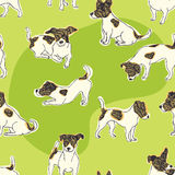 Jack Russell Terrier background. Dogs on a green grass Stock Images
