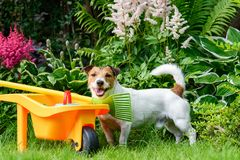 Happy friendly dog at backyard garden with children`s toy tools Stock Photo