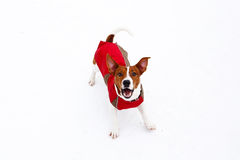 Jack Russell Terrier barking in winter. Snow Royalty Free Stock Image