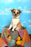 Jack Russell Terrier in a bath tub Stock Images