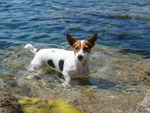 Jack Russell Terrier bathe in the sea Royalty Free Stock Photo