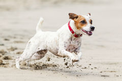 Jack Russell Terrier On The Beach Royalty Free Stock Photography