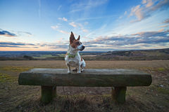 Jack Russell terrier on a bench with sunset sky. A Jack Russell terrier sitting on a wooden bench in an English landscape, with dramatic sunset sky in the Royalty Free Stock Photo