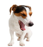 Jack Russell Terrier biały tło obrazy stock
