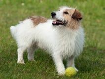 Jack Russell Terrier bij spel Royalty-vrije Stock Afbeelding