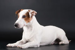 Jack Russell Terrier on black. Jack Russell Terrier lying on black. No isolated royalty free stock photography