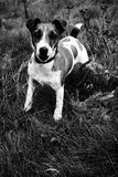 Jack Russell. Terrier - black and white photo stock photos