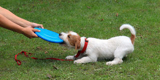 Jack Russell Terrier. And blue plastic toy royalty free stock photography