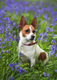 Jack Russell terrier among bluebells Stock Photography