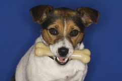 Jack Russell Terrier With Bone Stock Photos