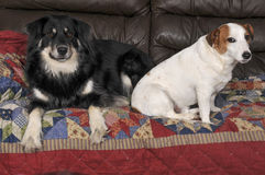 Jack Russell Terrier and Border Collie Stock Photos