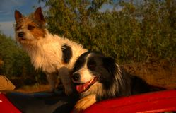 Jack Russell Terrier & Border Collie (3). This Jack Russell and his buddy the Border Collie were driving round the farm with their owner on his quad bike, I Stock Photos