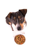 Jack Russell Terrier with a bowl on a white background Royalty Free Stock Photography