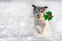 Jack Russell Terrier is running in the snow and is wearing a fou stock photos