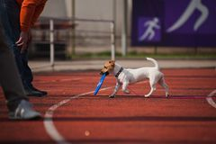 Jack Russell Terrier brings the flying disc Royalty Free Stock Photography