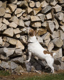 Jack Russell Terrier. A brown and white Jack Russell Terrier hunting at a wood pile royalty free stock photography