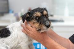Jack Russell Terrier canino al veterinario fotografia stock libera da diritti