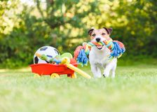 Dog chooses and fetches rope toy from hoard of pet toys in cart. Jack Russell Terrier carrying in mouth colorful dog rope toy royalty free stock photography