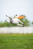 Jack Russell Terrier catching frisbee disk in jump. Jack Russell Terrier catching frisbee disk in a high jump Royalty Free Stock Photo