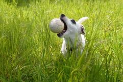 Jack Russell dog catching ball Royalty Free Stock Photo