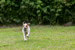Jack Russell Terrier Chasing His Toy stock afbeelding