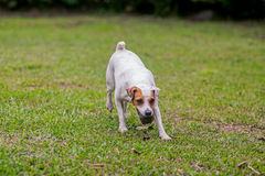 Jack Russell Terrier Chasing His Toy royalty-vrije stock foto's