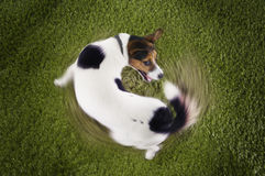 Jack Russell terrier Chasing Tail. Elevated view of Jack Russell terrier chasing tail view on grass royalty free stock images