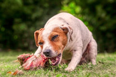 Jack Russell Terrier Chewing A Large Raw Bone Full Of Meat royalty free stock photo