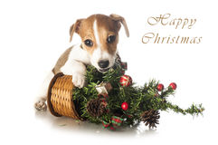 Jack Russell Terrier with Christmas tree Stock Images