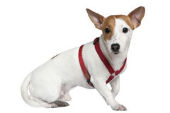 Jack Russell terrier in collar, 2 years old. Sitting in front of white background Royalty Free Stock Photo