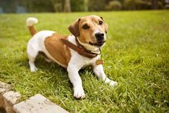 Jack russell terrier in collar smiling on grass. Jack russell terrier wearing collar with bone lies on the green grass and smiles Stock Images
