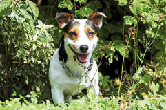 Jack Russell Terrier comes from the bushes Stock Image