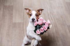 Jack Russell Terrier con las flores Día del `s de la tarjeta del día de San Valentín foto de archivo
