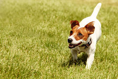 Jack Russell Terrier courant Photographie stock