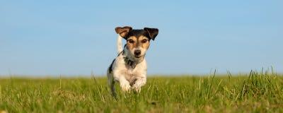 Jack Russell Terrier court devant le ciel bleu images stock