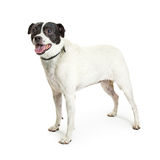 Jack Russell Terrier Crossbreed Dog on White Royalty Free Stock Photography