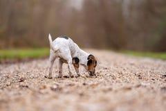 Jack Russell Terrier Cute-Hund folgt einer Spur stockbild
