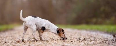 Jack Russell Terrier Cute-Hund folgt einer Spur lizenzfreie stockfotografie