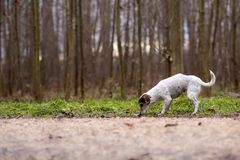 Jack Russell Terrier Cute-Hund folgt einer Spur lizenzfreie stockbilder