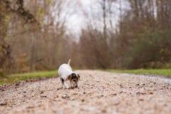 Jack Russell Terrier Cute-Hund folgt einer Spur stockbilder